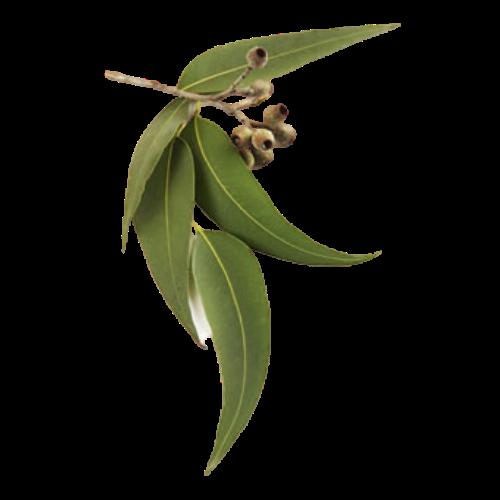 Eucalyptus (Eucalyptus radiata)