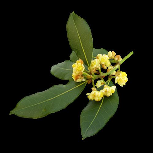 Laurel Leaf (Laurus nobilis)
