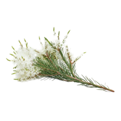 Melaleuca (Melaleuca alternifolia)