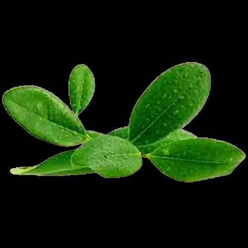 Ravensara (Ravensara aromatica)