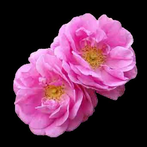 Rose (Rosa damascena)
