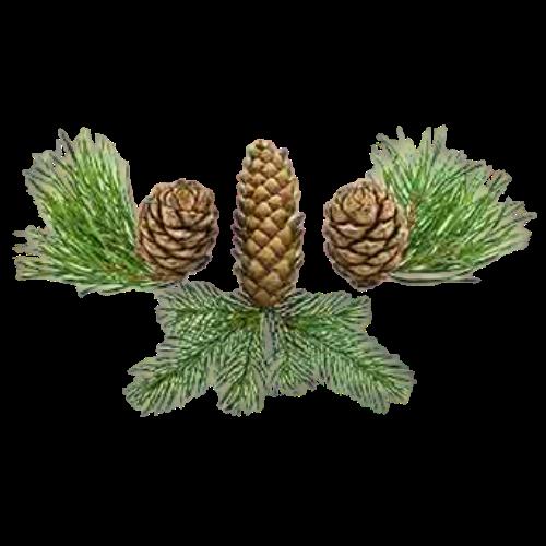 Siberian Fir (Abies sibirica)